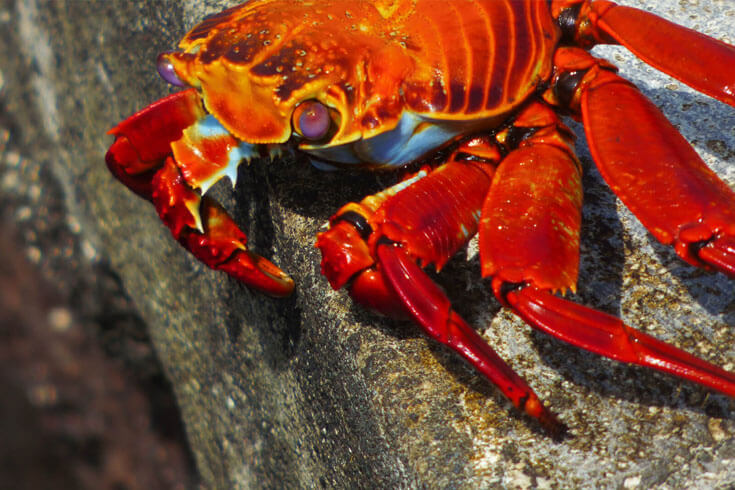 Sally Lightfoot Crab © GCT