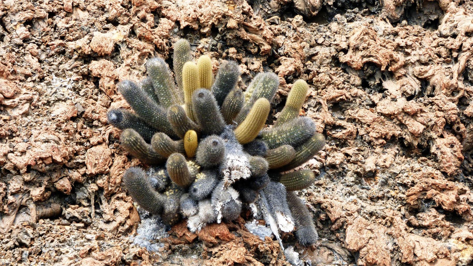 Lava Cactus © GCT