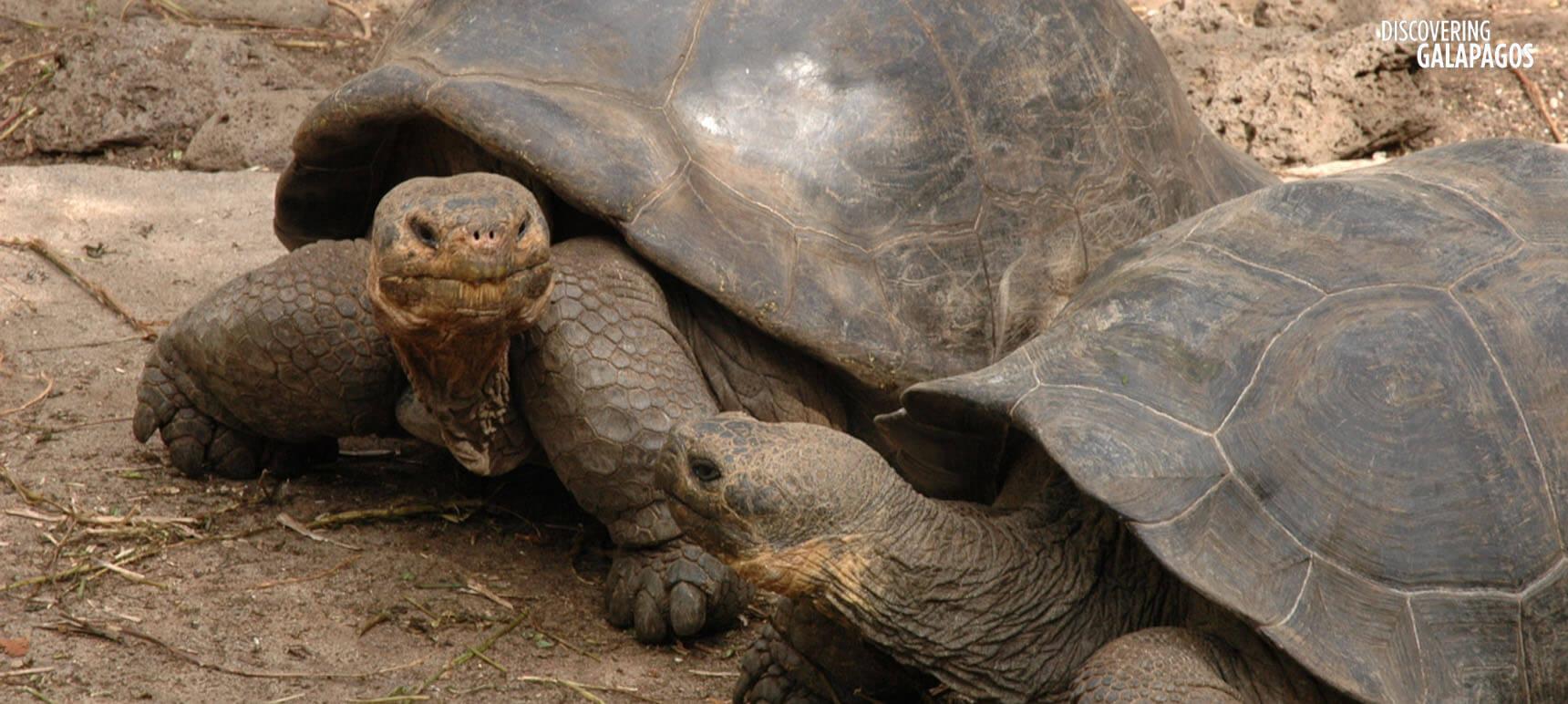 Tortoises © Caroline Pannell