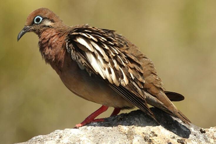 Galapagos Dove © Robert Fuller