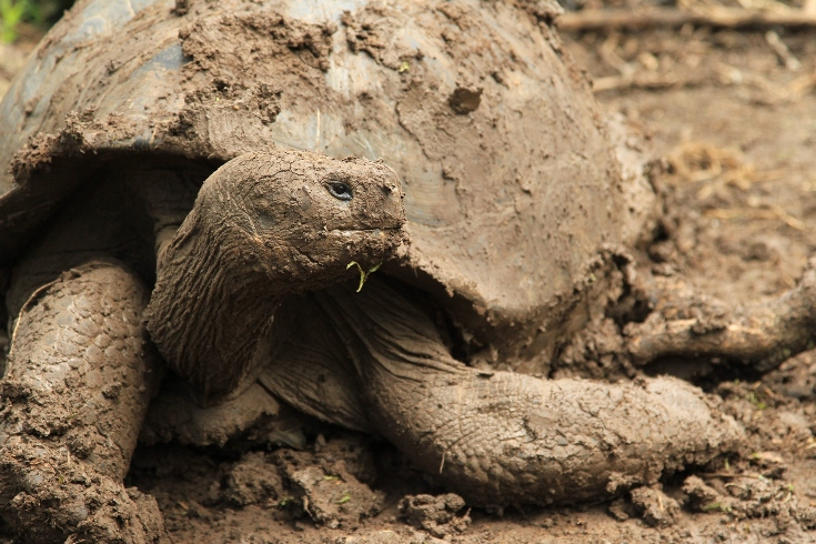 Galapagos Giant Tortoise © Robert Fuller