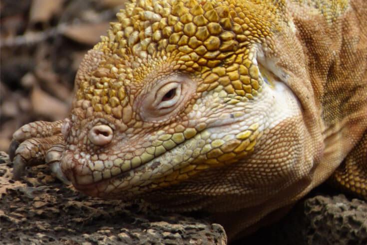 Land Iguana © GCT