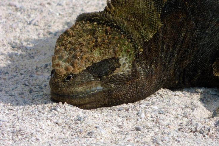 Marine Iguana © GCT