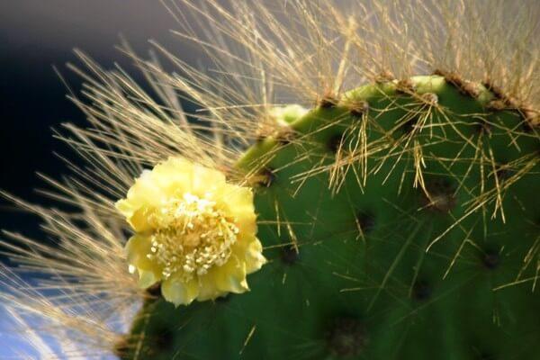 Opuntia Cactus © GCT