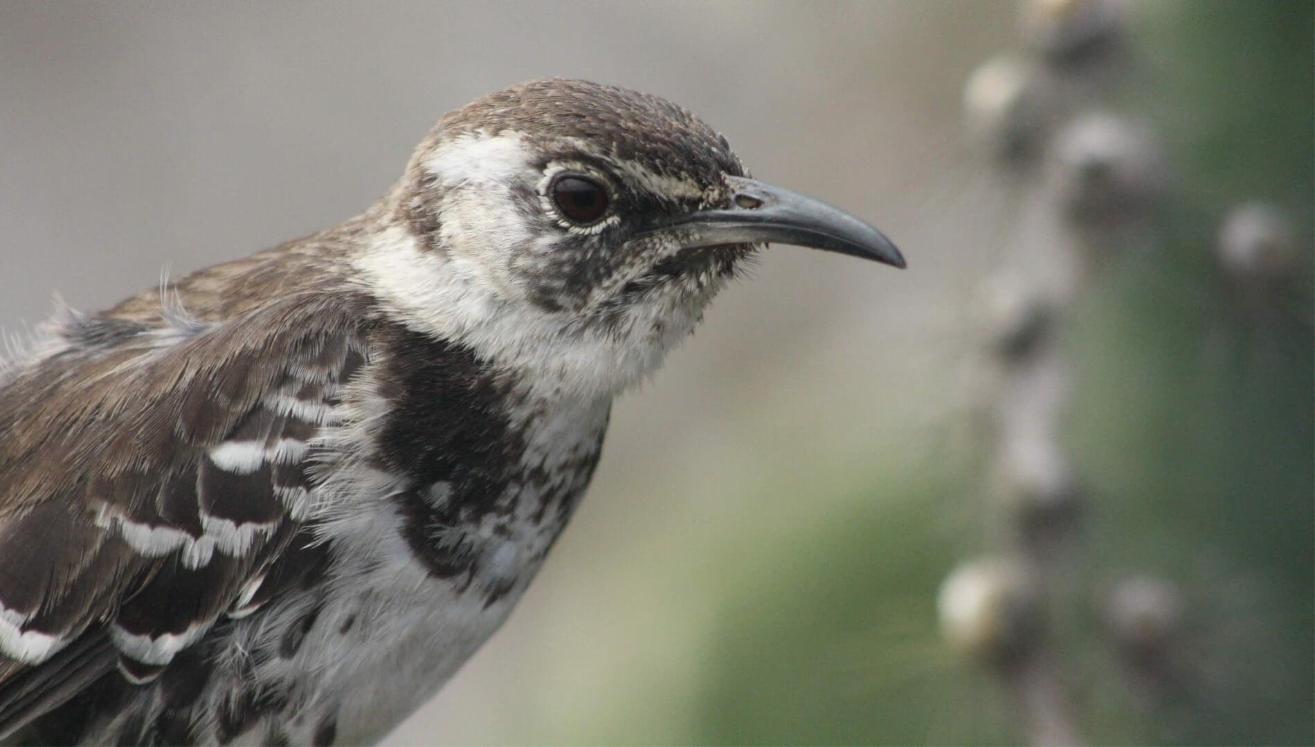 Floreana Mockingbird © Luis Ortiz Catedral