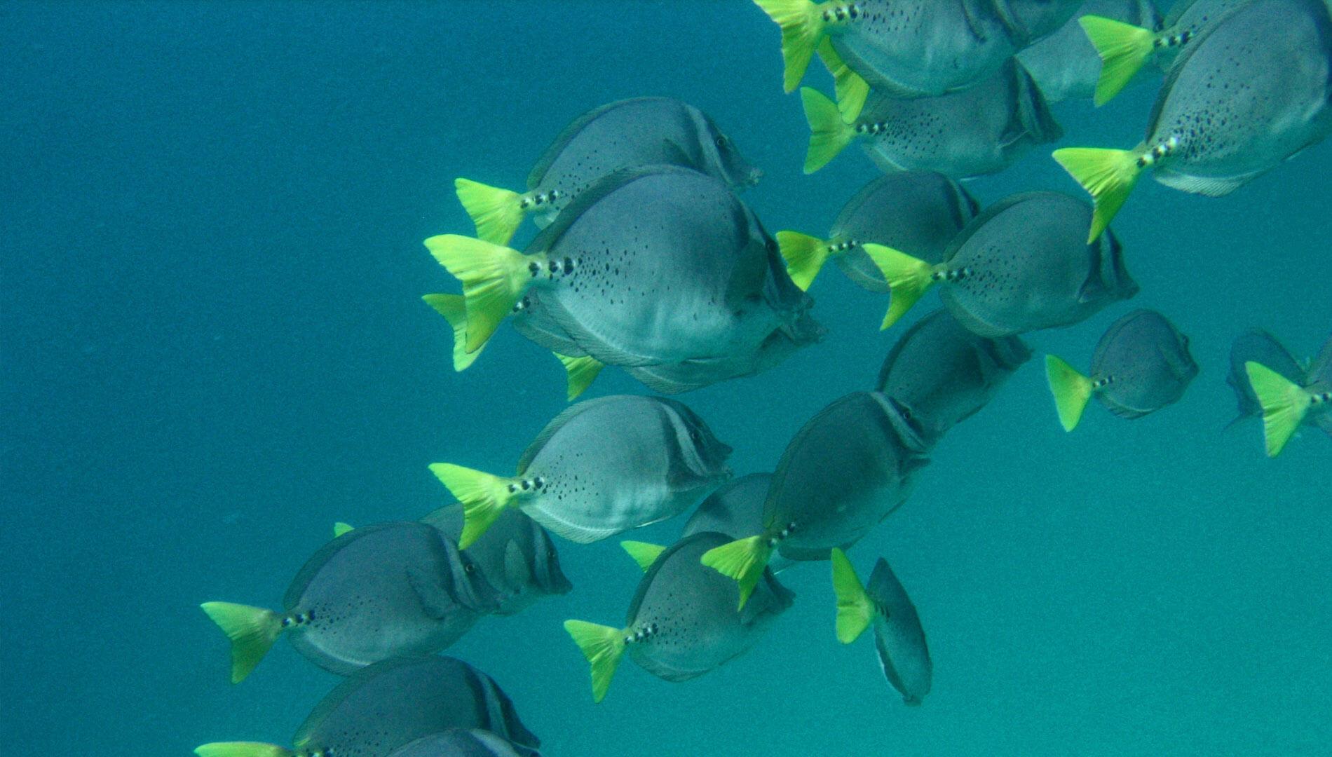 Razor Surgeonfish © Santiago Bejarano
