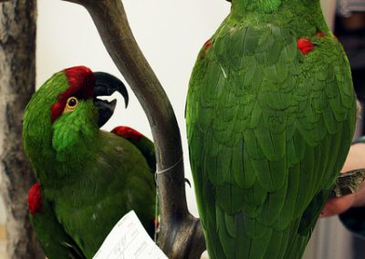 Taxidermy Parrots © Beverly Cottrell