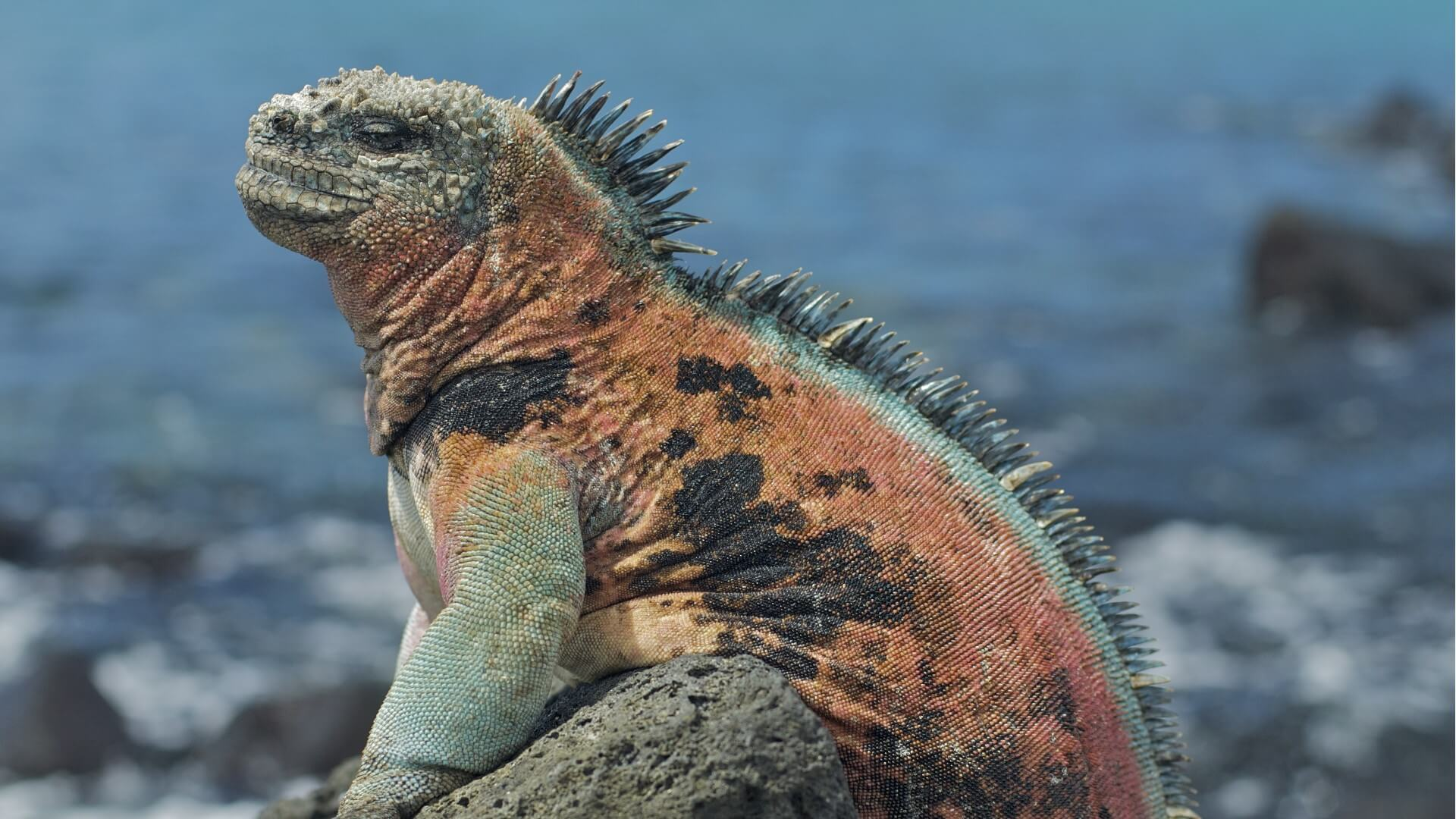Galapagos Marine Iguana © Galapagos Conservation Trust